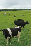 広大な牧場でのびのび育てられる牛達